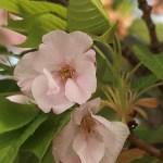 Cerasus serrulata 'Mikurumakaisi'/ Cherry var. Mikurumagaeshi/ ミクルマガエシ