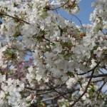 Cerasus speciosa 'Hosokawa-odora'/ Cherry var. Hosokawanioi/ ホソカワニオイ