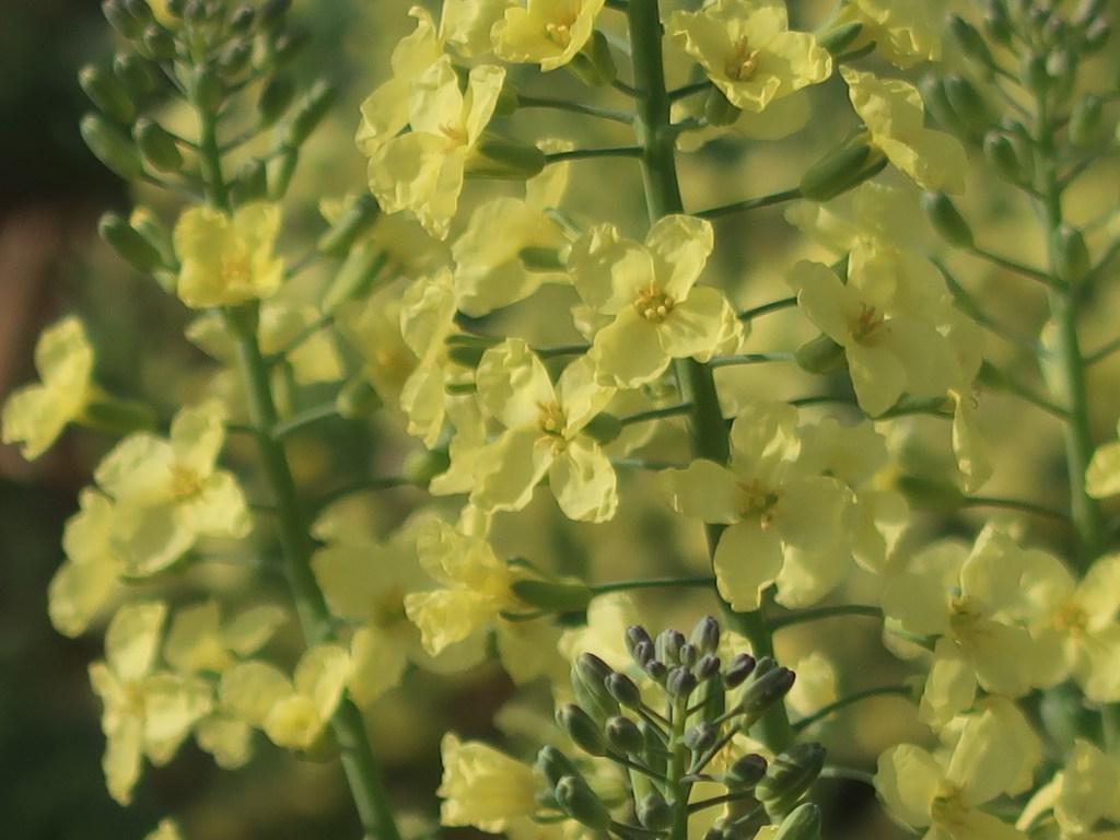 Brassica oleracea var. italica/ Broccoli/ ブロッコリー