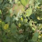 Simmondsia chinensis/ Jojoba/ ホホバ