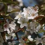 Cerasus jamasakura 'Kohokuensis'/ Cherry var. Kouhokunioi/ コウホクニオイ