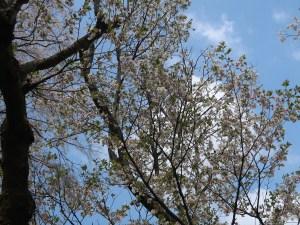 Cerasus serrulata 'Shibayama'/ Cherry var. Shibayama/ シバヤマ 神代の墨染
