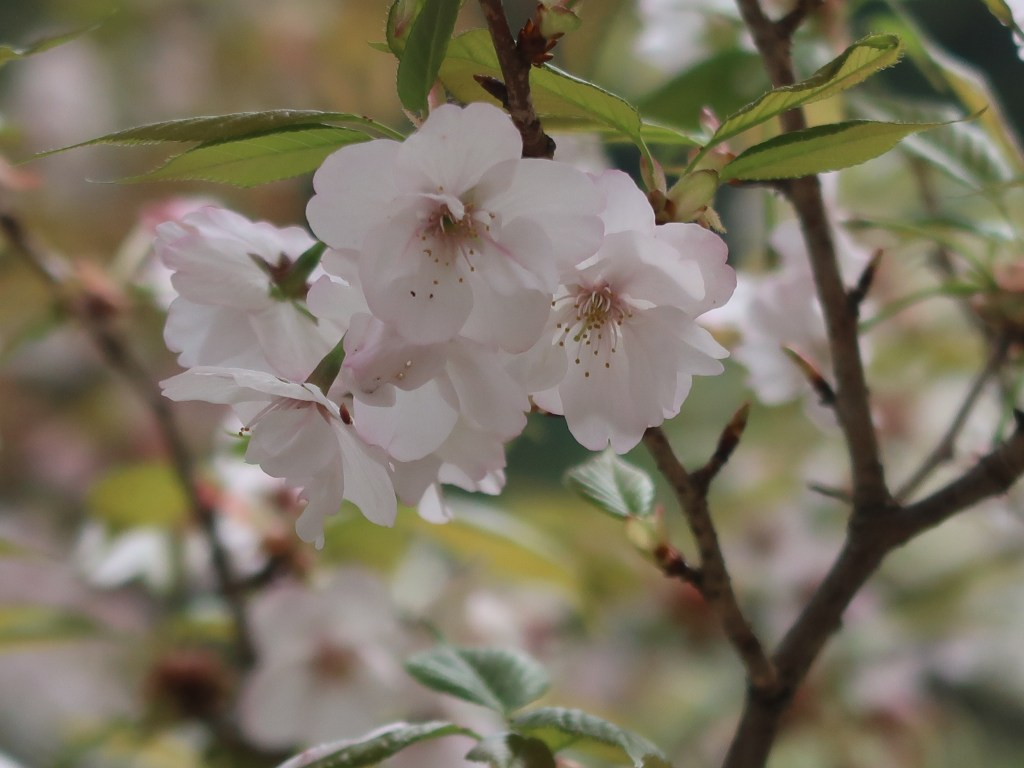 Cerasus jamasakura 'Sanozakura'/ Cherry var. Sanzakura/ サノザクラ