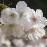 Cerasus serrulata 'Taihaku'/ Cherry var. Taihaku/ タイハク 神代の駒繋