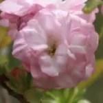 Cerasus serrulata 'Contorta'/ Cherry var. Fukurokujyu フクロクジュ