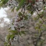 Cerasus serrulata 'Sendai‐shidare'/ cherry var. Sendai shidare/ センダイシダレ 普賢枝垂