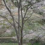 Cerasus serrulata 'Juniyae'/ Cherry var. Juniyae/ ジュウニヤエ