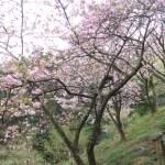 Cerasus serrulata 'Fasciculata' / Cherry var. Itokukuri/ イトククリ 京都の糸括