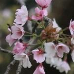 Cerasus jamasakura var. chikusiensis/ Cherry var. Tsukusi yamazakura/ ツクシヤマザクラ