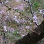 Cherry var. Oshima