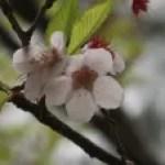 Cerasus x subhirtella f. hisauchiana/ Cherry var. Yabu-zakura/ ヤブザクラ