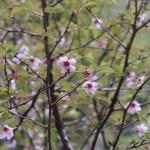 Cerasus x furuseana/ Cherry var. Yamamamezakura/ ヤママメザクラ