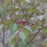 Cerasus kumanoensis/ kumano cherry/ クマノサクラ