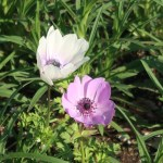 Anemone coronaria/ Poppy anemone/ アネモネ
