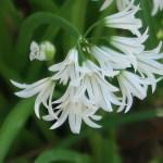 Allium triquetrum/ Three-cornered leek/ アリウム トリケトラム