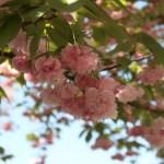 Cerasus serrulata 'Hanagasa'/ Cherry var. Hanagasa/ ハナガサ