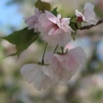 Cerasus serrulata 'Eigenji'/ Cherry var. Eigenji/ エイゲンジ