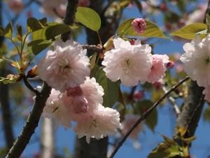 Cerasus jamasakura 'Kamatari-zakura'/ Cherry var. Kamatarizakura/ カマタリザクラ