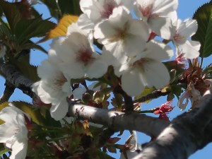 Cerasus serrulata 'Wasinowo'/ Cherry var. Washinowo/ ワシノオ