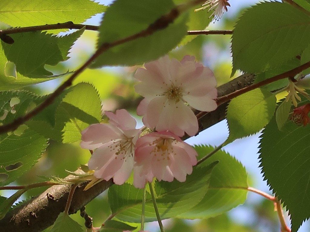 Cerasus 'Accolade'/ Cherry var.Accolade/ アーコレード
