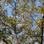 Cerasus jamasakura'Kotohira'/ Cherry var. Kotohira/ コトヒラ