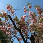 Cerasus serrulata 'Wabihito'/ Cherry var. Wabihito/ ワビヒト