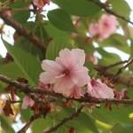 Cerasus x lannesiana 'Beni-yutaka'/ Cherry var. Beni-yutaka/ ベニユタカ