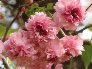 Cerasus serrulata 'Longipedunculata'/ Cherry var. Hiyodorizakura/ ヒヨドリザクラ