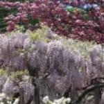 Wisteria floribunda/ Japanese wisteria/ フジ 藤