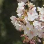 Cerasus × yedoensis 'tamanawa'/ Cherry var. Tamanawa zakura/ タマナワザクラ