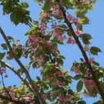 Cerasus serrulata 'Yezonishiki'/ Cherry var. Yezonishiki/ エゾニシキ