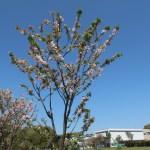 Cerasus serrulata 'Matsumae-shirakinu'/ Chery var. Matsumae-shirakinu/ マツマエシラキヌ
