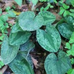 Asarum tamaense/ Wild ginger of Tama hills/ タマノカンアオイ