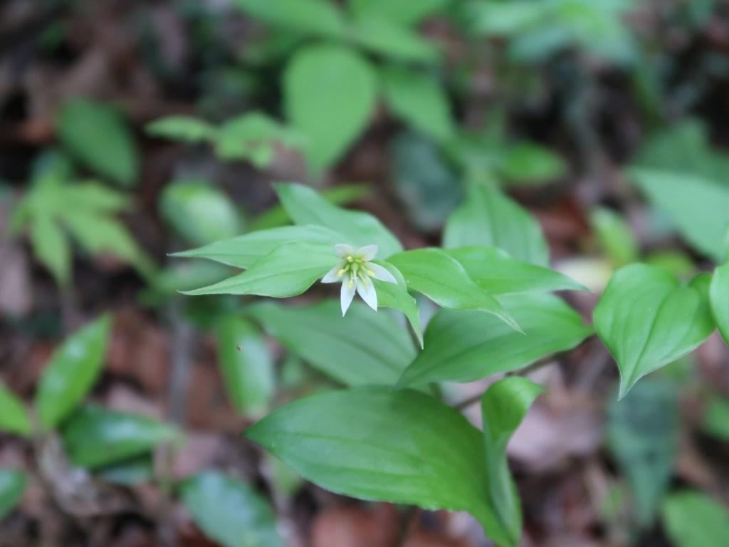 Disporum smilacinum/ Fairly bells/ チゴユリ