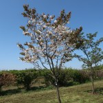 Cerasus serrulata 'Matsumae-fuki'/ Cherry var. Matsumae-fuki/ マツマエフウキ