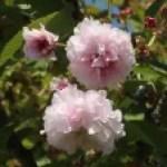 Cerasus serrulata'Multipetala'/ Cherry var. Nazima-zakura/ ナジマザクラ