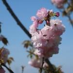 Cerasus serrulata 'Yae-benitoranowo'/ Cherry var. Yae-benitoranowo/ ヤエベニトラノオ