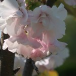 Cerasus serrulata 'Versicolor'/ Cherry var. Yae-akebono/ ヤエアケボノ