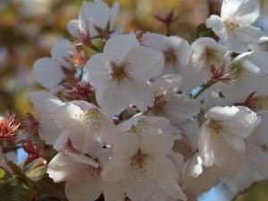 Cerasus serrulata 'Kuramauzu'/ Cherry var. Kuramauzu/ クラマウズ