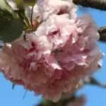 Cerasus'Satohara'/ Cherry var. Satohara/ サトハラ
