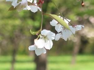 Cerasus jamasakura 'Humilis'/ Cherry var. Wakakinosakura/ ワカキノサクラ