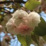Cerasus serrulata'Hirosaki-sandanzaki'/ Cherry var. Hirosaki-sandanzaki/ ヒロサキサンダンザキ