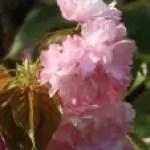 Cerasus serrulata'Azuma-nishiki'/ Cherry var. Azuma-nishiki/ アズマニシキ
