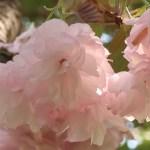 Cerasus serrulata 'Aratama'/ Cherry var. Aratama/ アラタマ