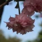 Cerasus serrulata'Polycarpa'/ Cherry var. Fukuzakura/ フクザクラ