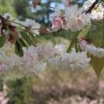 Cerasus jamasakura 'Haguiensis'/ Cherry var. Keta-no-shirokikuzakura/ ケタノシロキクザクラ
