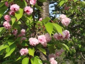 Cerasus jamasakura 'Raikouji-Kikuzakura'/ Cherry var. Raikouji-Kikuzakura/ ライコウジキクザクラ