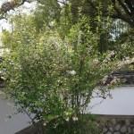Spiraea prunifolia/ Bridalwreath spirea/ シジミバナ