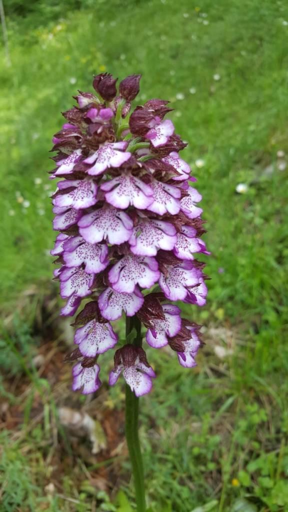 Orchis purpurea/ Lady orchid/ レディオーキッド