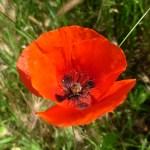 Papaver rhoeas/ Common poppy/ ヒナゲシ